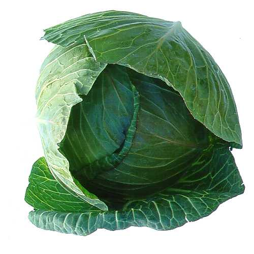 Cabbage Drum (whole)