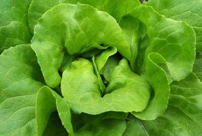 LETTUCE - GREEN OAK on sale. Delivered in Melbourne